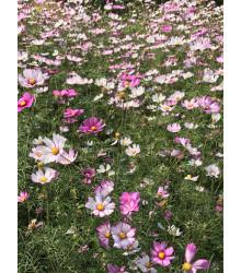 Krasuľka perovitá - zmes - Cosmos bipinnatus - semená - 40 ks