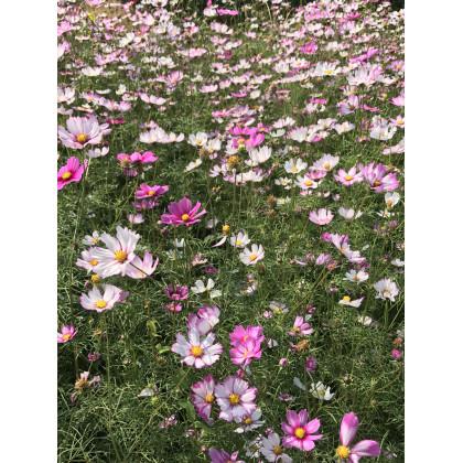 Krasuľka perovitá - zmes - Cosmos bipinnatus - semená krasuľky - 20 ks