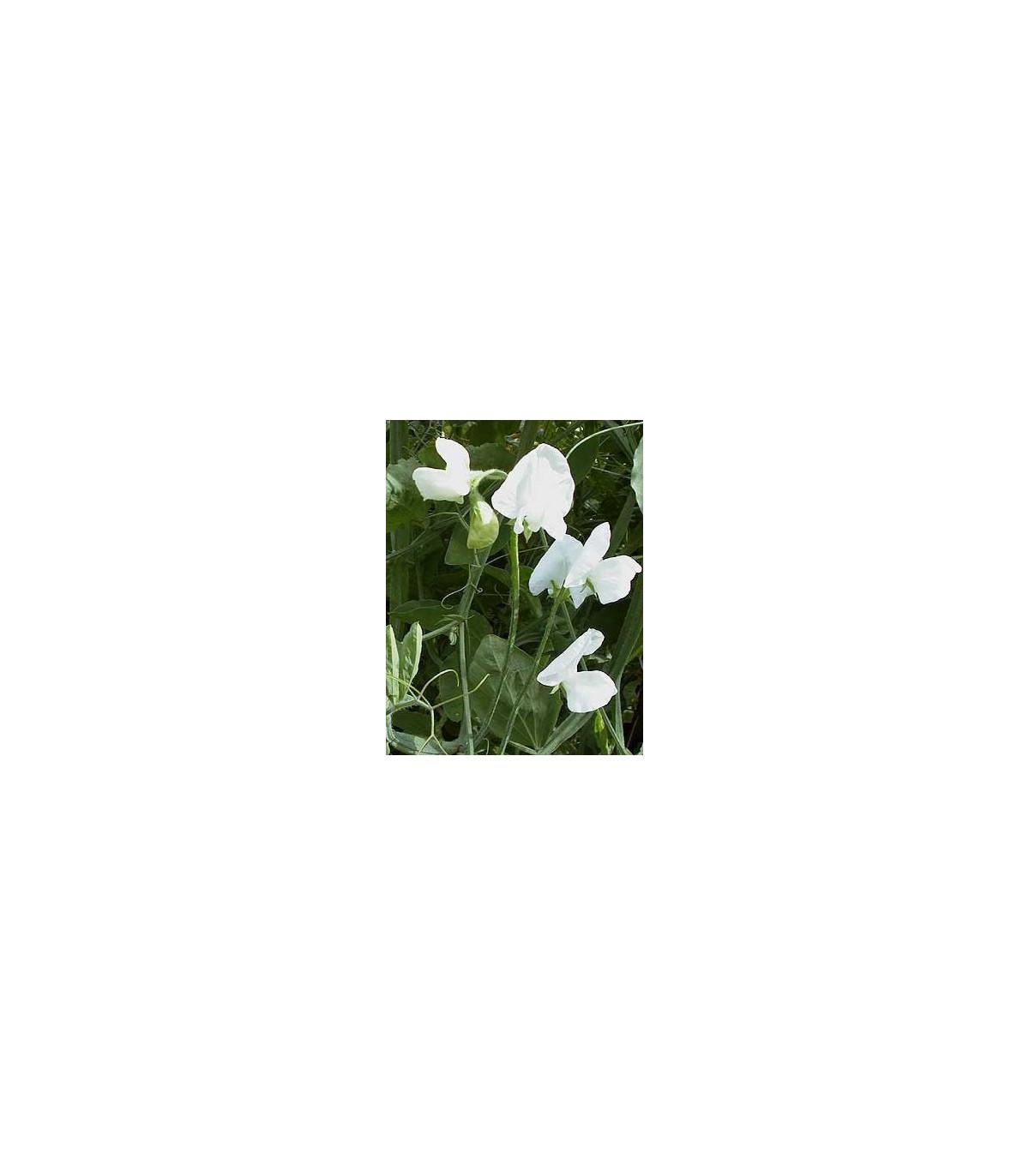 Hrachor popínavý kráľovský - Lathyrus odoratus - semená hrachora - semiačka - 20 ks