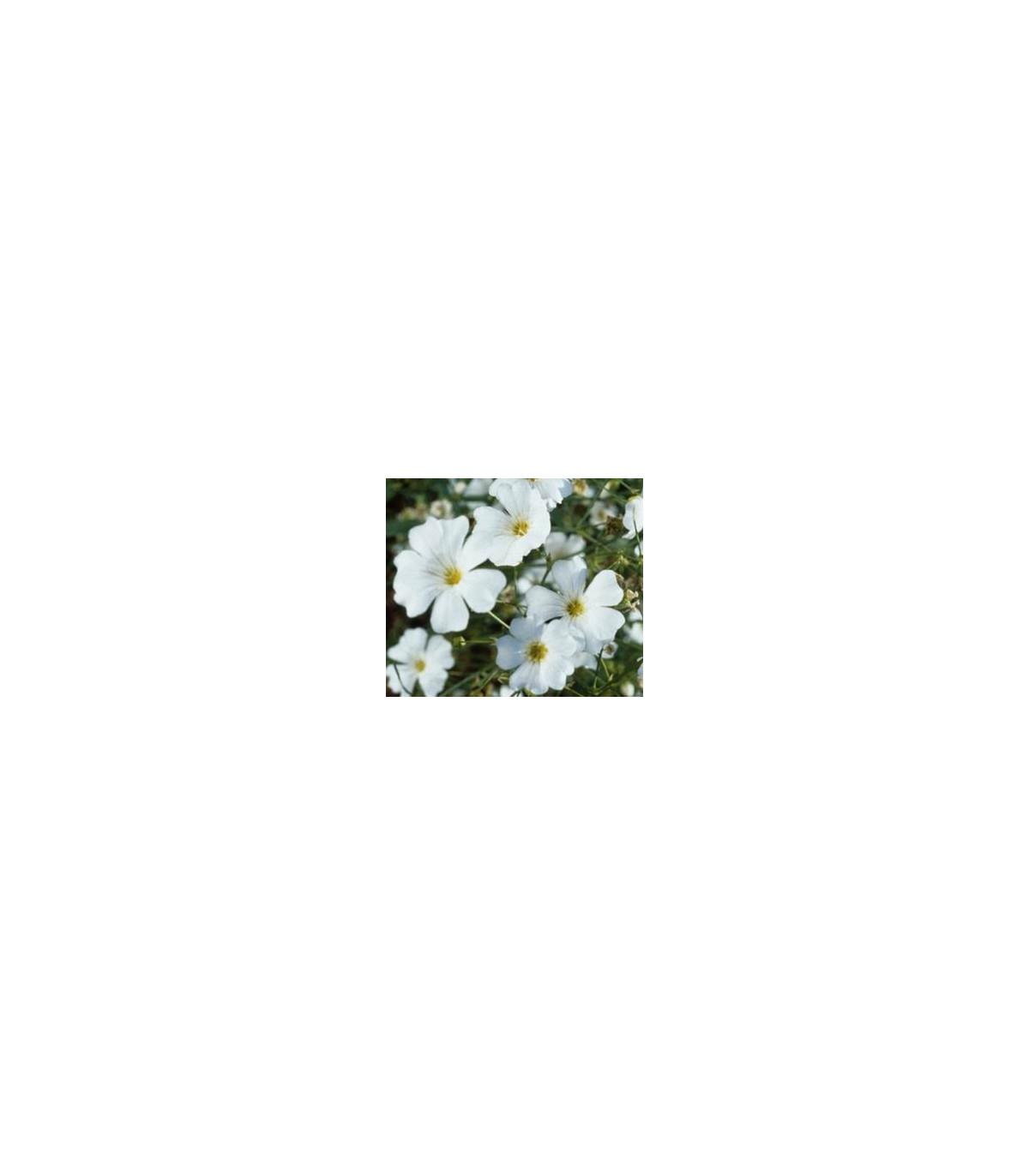 Šater ozdobný - Gypsophila elegans maxima albumu - semená - semiačka - 150 ks