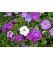Petúnia veľkokvetá nízka - Petunia hybrida nana - semená - 20 ks