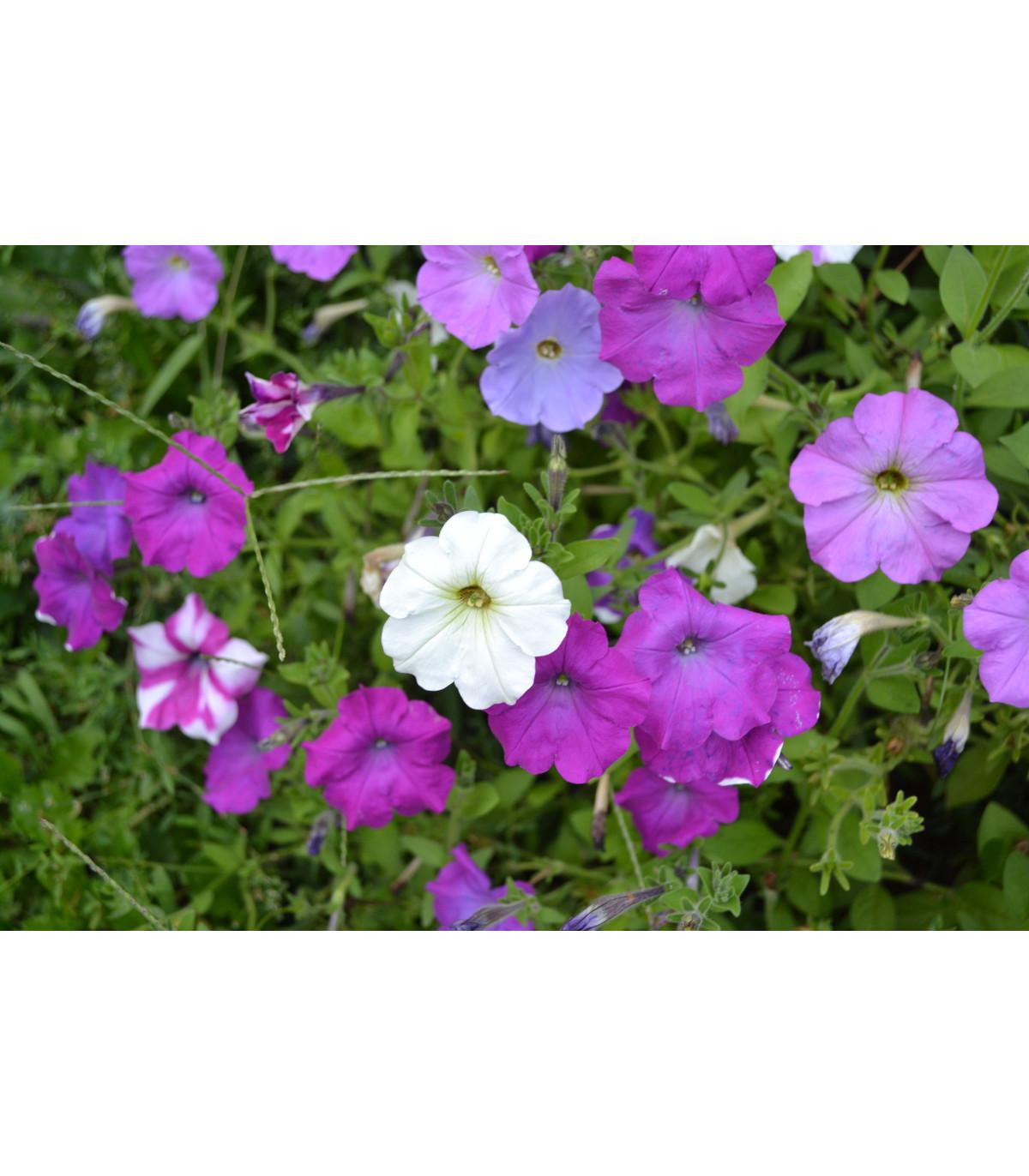 Petúnia veľkokvetá nízka - Petunia hybrida nana - semená - 0,1 g