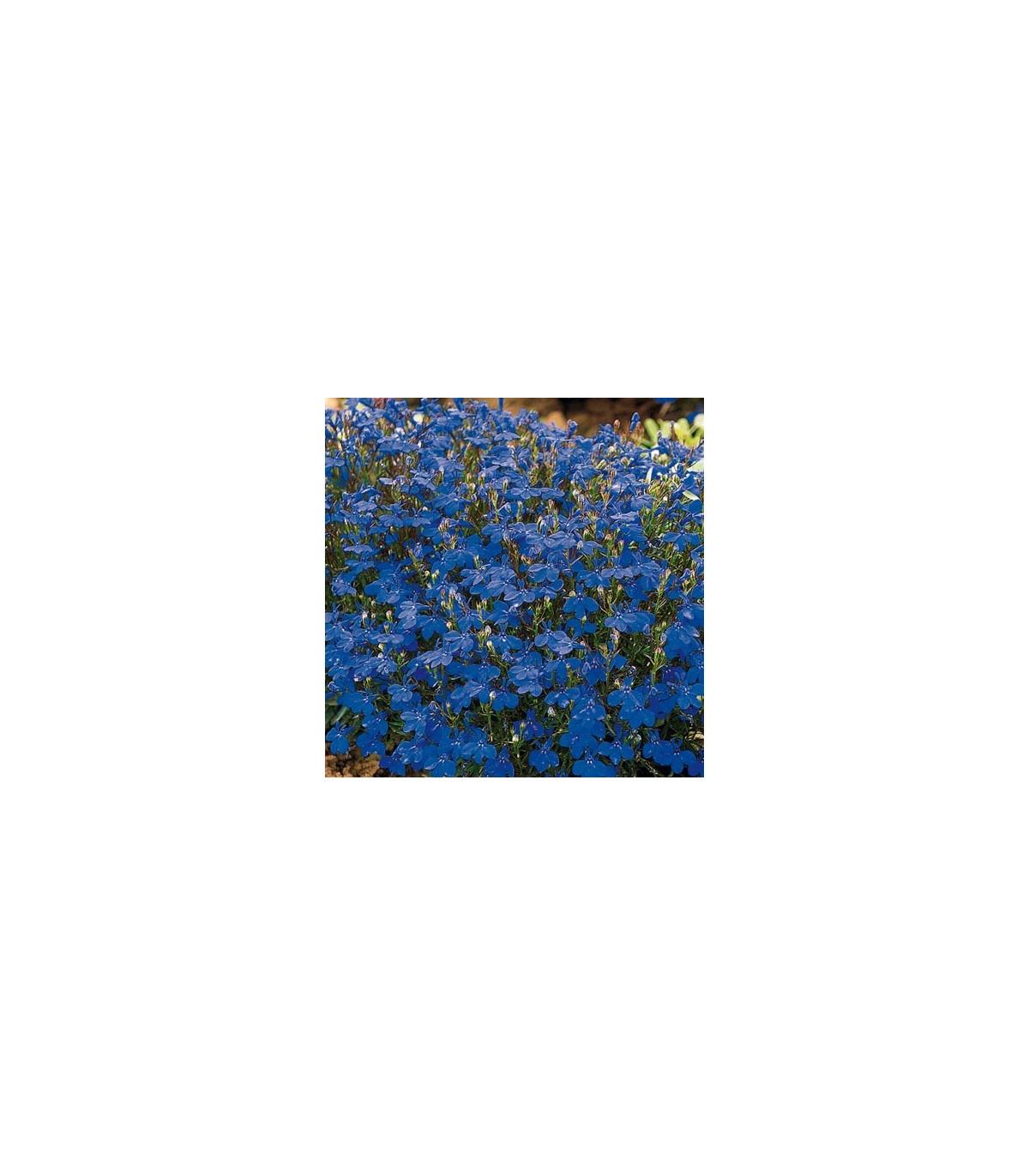 Lobelka drobná Crystal Palace - Lobelia erinus - semená lobelky - semiačka - 0, 2 gr