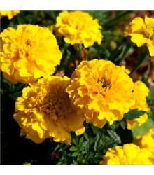 Aksamietnica nízka Gold - Tagetes patula nana gold - semená - 100 ks