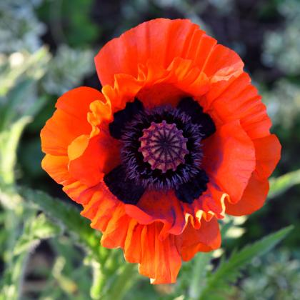 Mak turecký - Papaver glaucum - semená