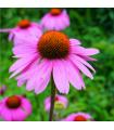 Echinacea purpurová - Echinacea purpurea - semená - 15 ks