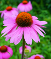 Echinacea purpurová - Echinacea purpurea - semená echinacey - 15 ks