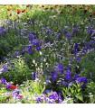 Letničky zmes Záhradný sen v modrom - semená letničiek - semiačka - 0,9 gr