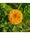 Cínia pôvabná žltá - Zinnia elegans - semená cínie - semiačka - 1 gr