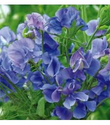 Hrachor voňavý kráľovský modrý - Lathyrus odoratus - semená - 20 ks