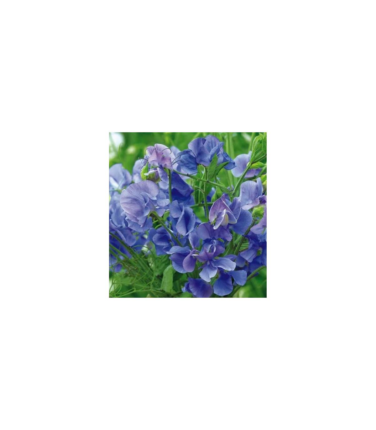 Hrachor voňavý kráľovský modrý - Lathyrus odoratus - semená hrachora - semiačka - 20 ks