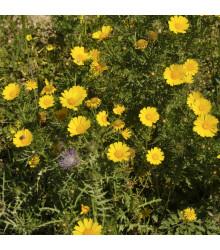 Chryzantémovka siatinová - Margaréta ovsená Helios - Chrysantemum segetum - semená - 100 ks