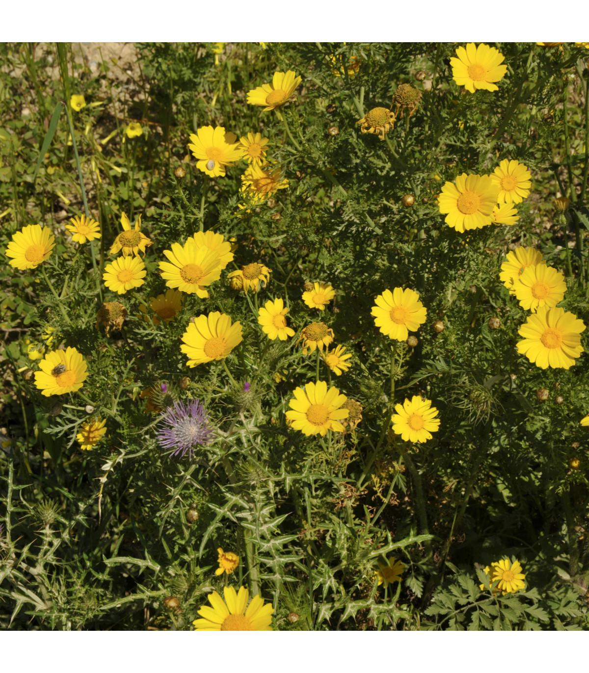 Margaréta ovsená Helios - Chrysantemum segetum - semená - 0,3 g