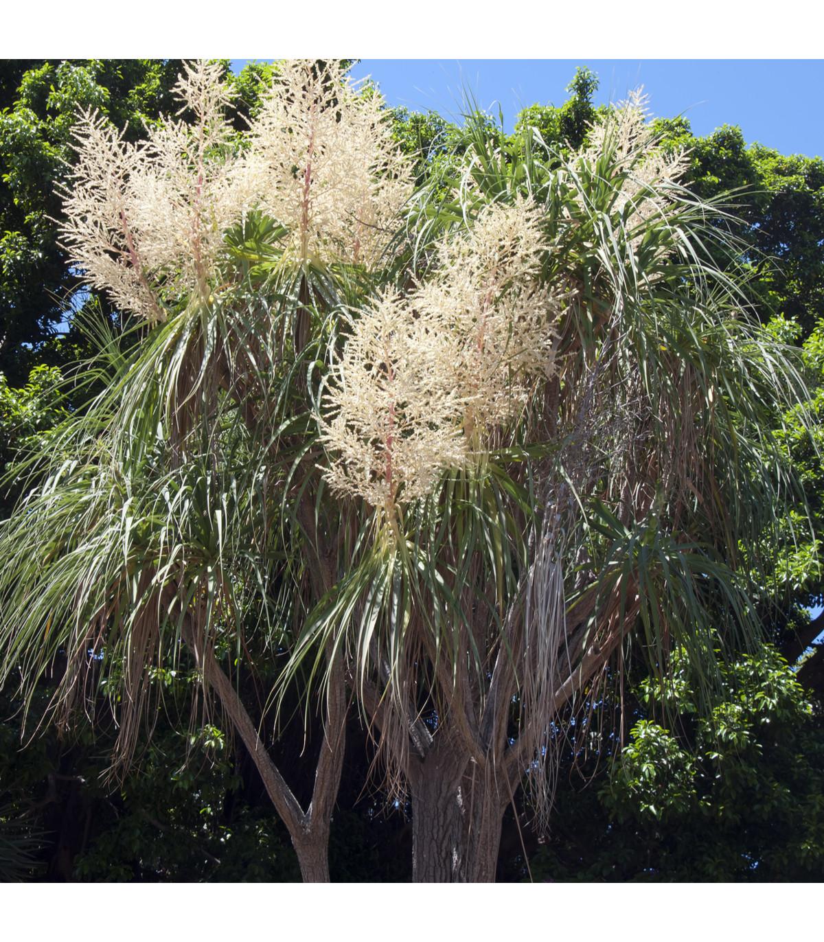 Nolina - Slonia noha - Beaucarnea longifolia - semená - semiačka - 5 ks