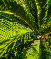 Cykas - Zamia floridana - keják celistvolistý - semená - 2 ks