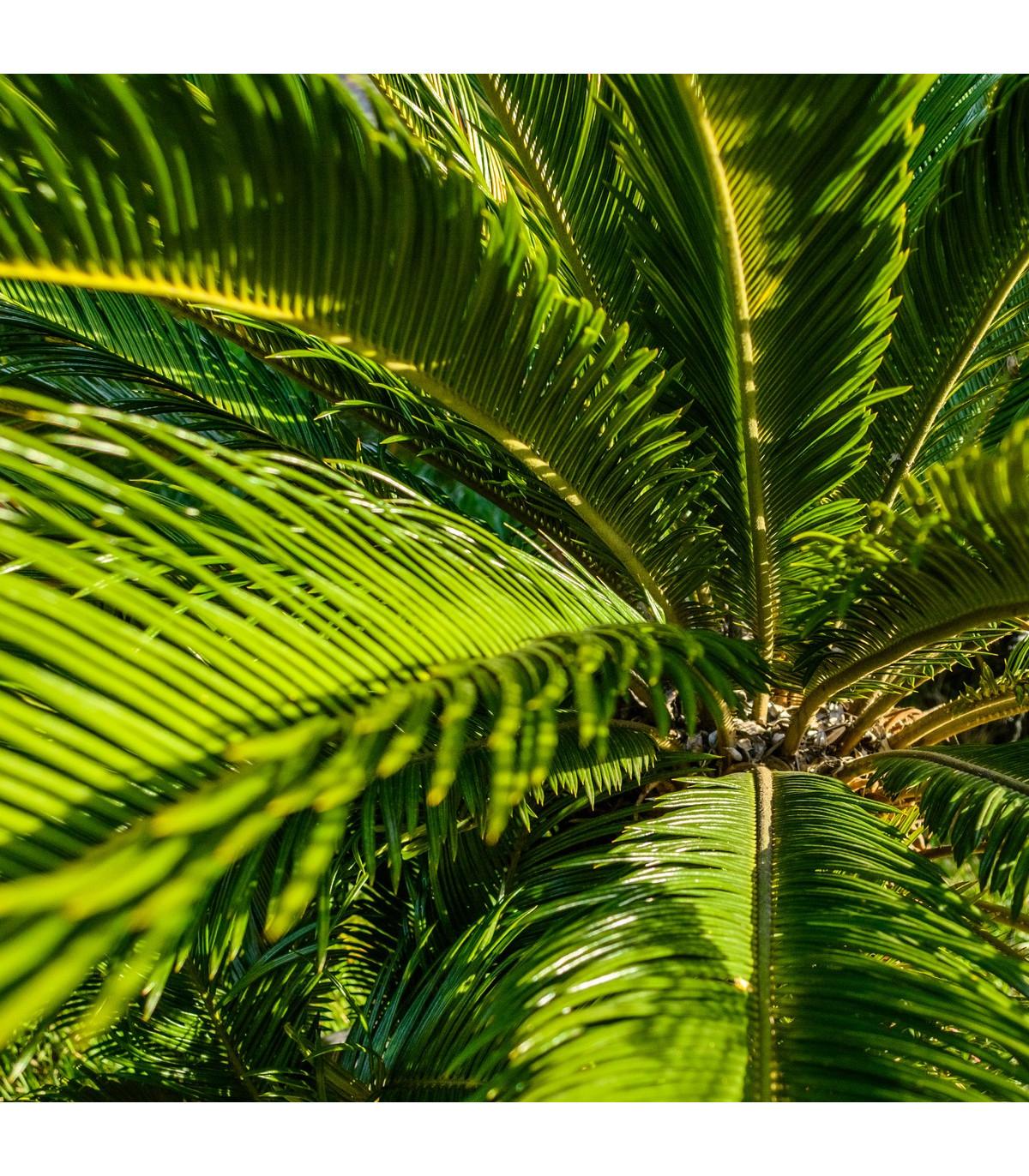 Cykas Zamia floridana - semená cykasa - semiačka - 2 ks