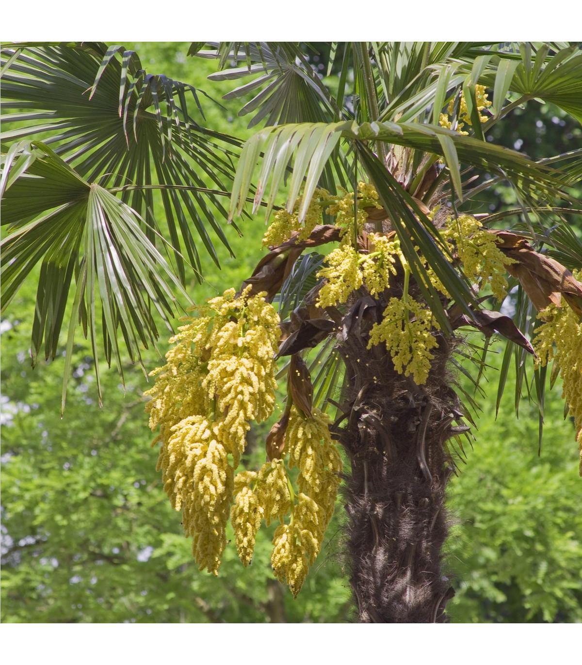 Palma konopná - Trachycarpus fortunei - semená palmy - semiačka - 2 ks