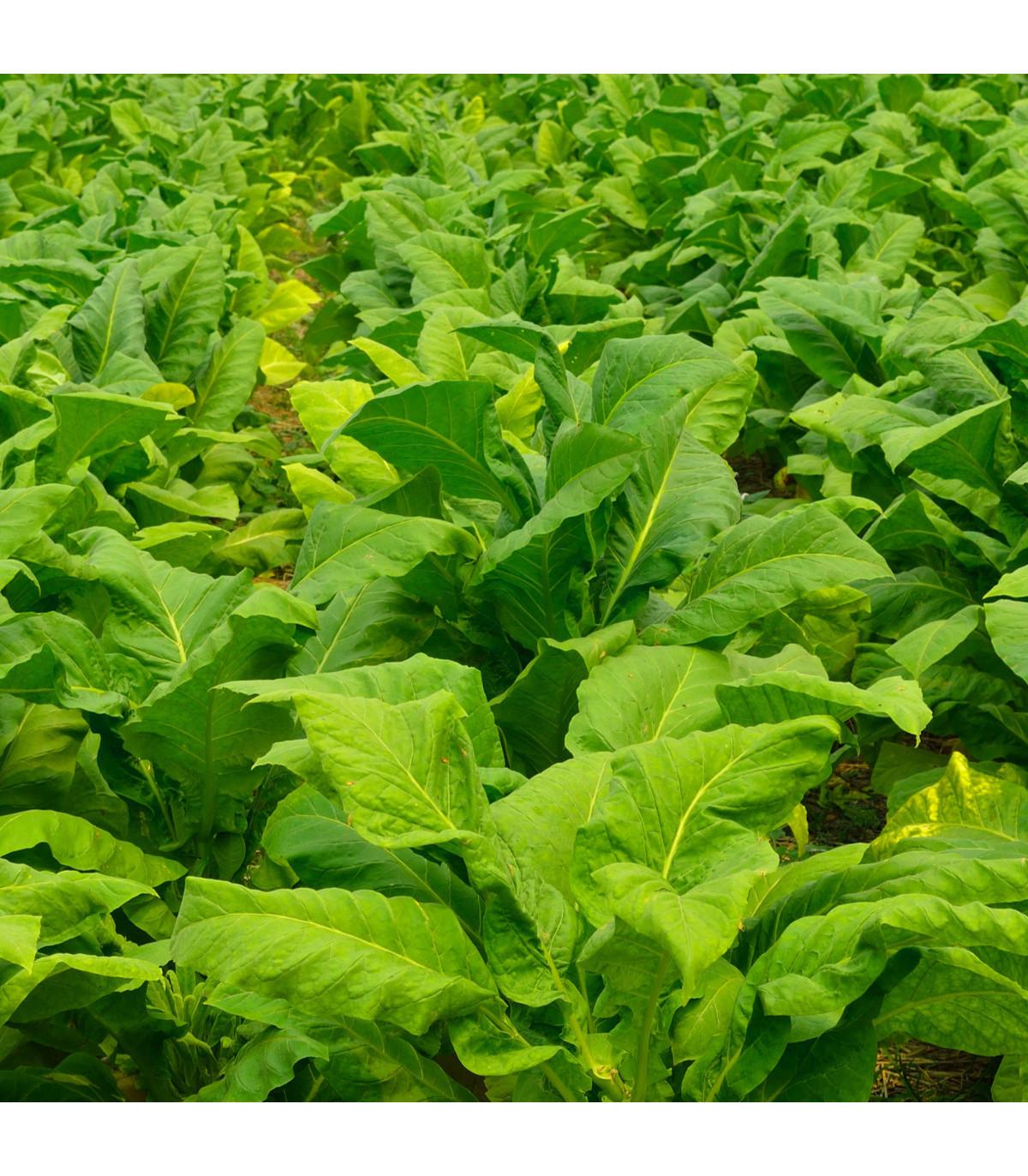 Tabak Burley - Nicotiana tabacum - semená tabaku - semiačka - 20 ks