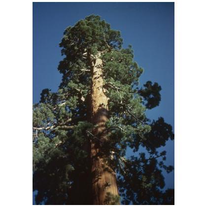 Sekvojovec obrovský - Sequioia giganteum - semená sekvojovca - semiačka - 3 ks