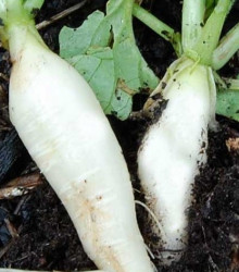 Reďkev biela delikatesa - semená reďkve - semiačka - 60 ks