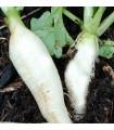 Reďkovka biela delikatesa - semená reďkovky - semiačka - 60 ks
