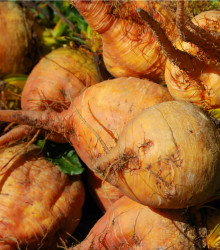 Cvikla šalátová žltá - Boldor F1 - semená repy - Beta vulgaris - 50 ks