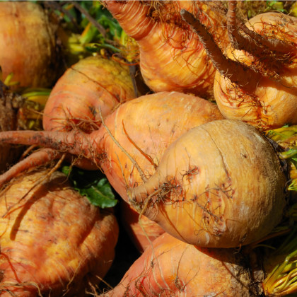 Repa šalátová žltá Boldor F1 - cvikla - Beta vulgaris - semená - 50 ks