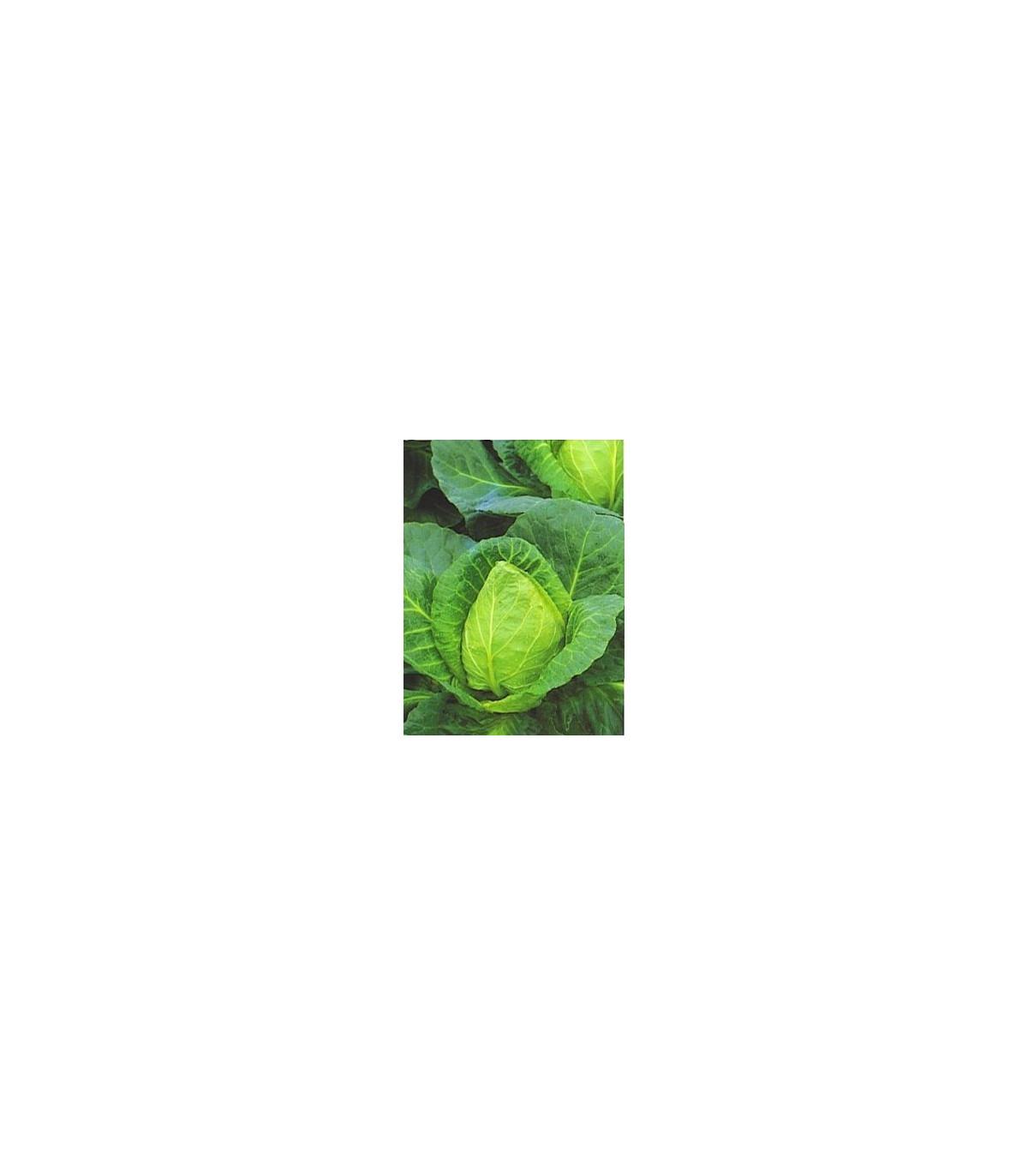 Kapusta biela veľmi skorá - semená kapusty - semiačka - 0,8 gr