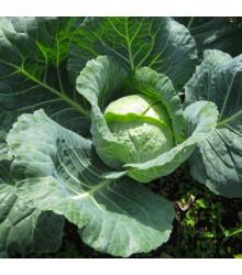Kapusta hlávková neskorá Holt - Brassica oleracea - semená - 200 ks