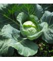 Kapusta hlávková neskorá - Brassica oleracea - semená kapusty - semiačka - 0,8 gr