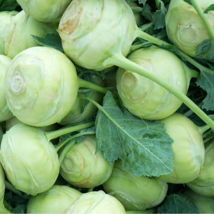 Kaleráb biely Lanro - Brassica oleracea - semená - 300 ks