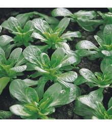 Valeriánka poľná Prager - Valerianella locusta - semená valeriánky - semiačka - 100 ks