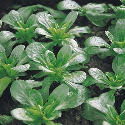 Valeriánka poľná Prager - Vallerianella locusta - semená valeriánky - semiačka - 100 ks