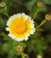 Chryzantéma jedlá - Chrysanthemum coronarium - semená chryzantémy - semiačka - 0,9 gr