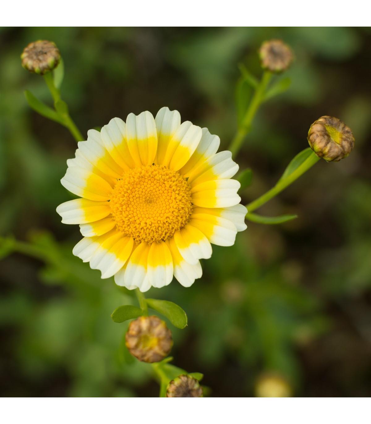 Chryzantémovka vencovitá - Chrysanthemum coronarium - semená - 450 ks