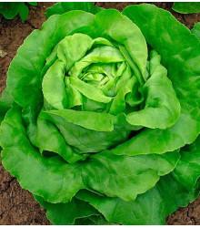 Šalát hlávkový maslový - semená šalátu - semiačka - 0,5 gr