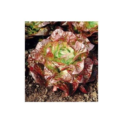 Šalát hlávkový červený - Latusa sativa - semená šalátu - semiačka - 0,5 gr