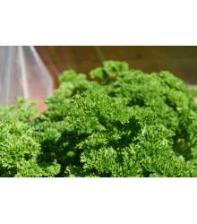 Petržlenová vňať Starlett - Petroselinum crispum - semená - 500 ks