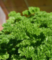 Petržlen Starlett - Petroselinum crispum - semená - 500 ks
