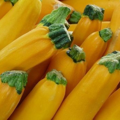 Cuketa zlatá - F1 - Cucurbita pepo - semená cukety - semiačka - 10 ks