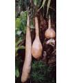 Indická uhorka Lagenária dlhá - Lagenaria siceraria longissima - semená - semiačka - 7 ks