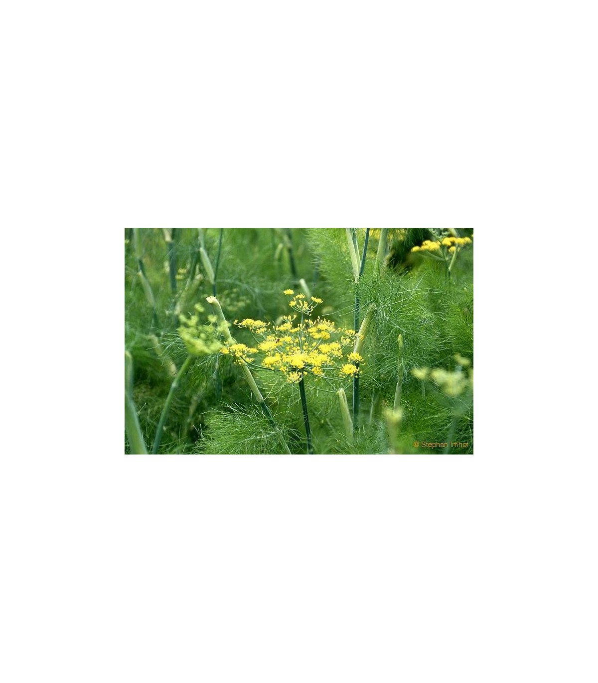 Fenikel sladký do šalátov - Foeniculum vulgare Mill. - semená feniklu - semiačka - 30 ks