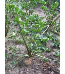 More about Zeler voňavý - Apium Graveolens - semená zeleru - semiačka - 1 g