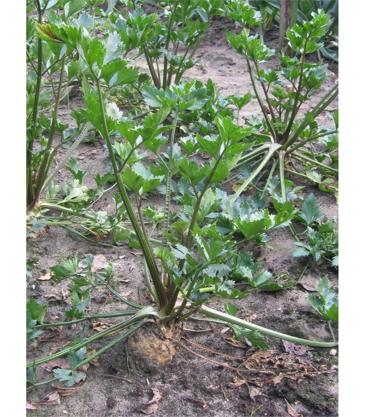 Zeler voňavý - Apium Graveolens - semená zeleru - semiačka