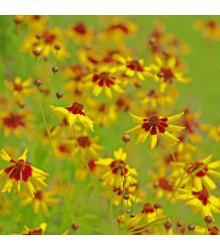 Krásnoočko dvojfarebné nízke - Coreopsis tinctoria - semená - 50 ks