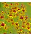 Krásnoočko dvojfarebné nízke - semená - 50 ks