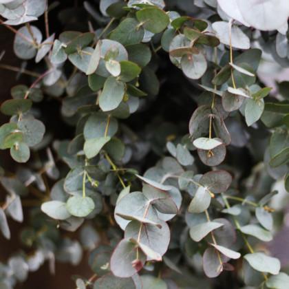 Eukalyptus Gunnov - Eucalyptus gunnii - semená eukalyptu - 10 ks