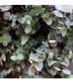 Eukalyptus guni - Eucalyptus gunnii - semená eukalyptu - semiačka - 10 ks