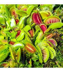 Mucholapka mix - mäsožravka Dionaea - semená - semiačka - 10 ks