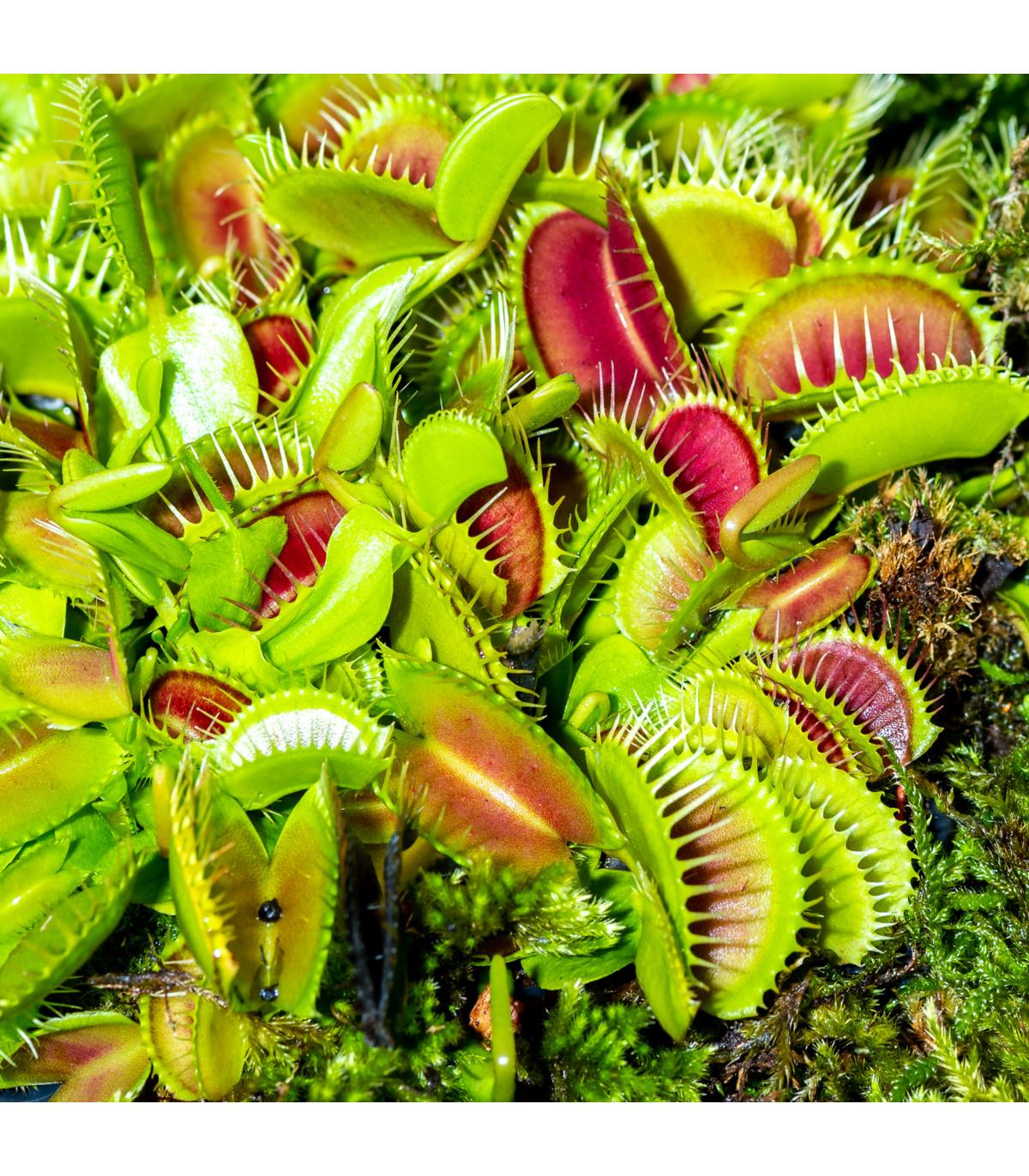 Mucholapka mix - Dionaea - semená - 10 ks